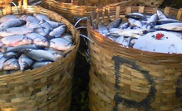 Panen Udang dan Ikan di Desa Tanjangawan Ujungpangkah